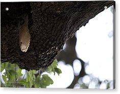The Live Oak Acrylic Print by Shawn Marlow
