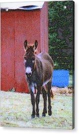 The Lonely Donkey Acrylic Print by Kay Novy
