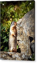 The Marmot Acrylic Print by Robert Bales