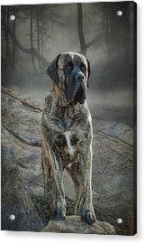The Mastiff Acrylic Print by Fran J Scott