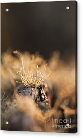 The Miniature World Of Lichen Acrylic Print by Anne Gilbert