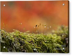 The Miniature World Of Moss  Acrylic Print by Anne Gilbert