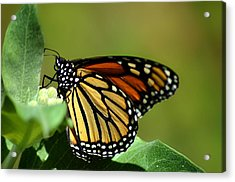 The Monarch Acrylic Print by Camille Lopez