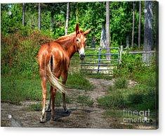 The Mule Acrylic Print by Kathy Baccari