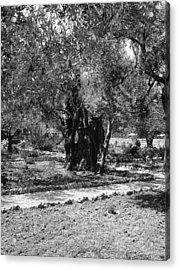 The Olive Tree At Gethsemane Acrylic Print by Sandra Pena de Ortiz