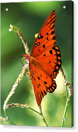 The Passion Butterfly Acrylic Print by Kim Pate