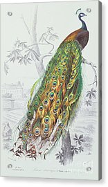 The Peacock Acrylic Print by A Fournier