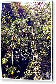 The Pear Tree Acrylic Print by Garren Zanker