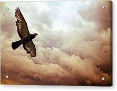 The Pigeon Acrylic Print by Bob Orsillo