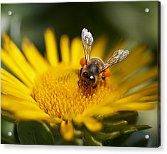 The Pollinator Acrylic Print by Rona Black