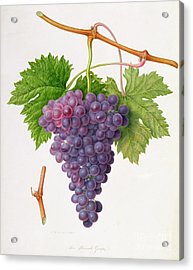 The Poonah Grape Acrylic Print by William Hooker