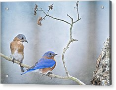 The Presence Of Bluebirds Acrylic Print by Bonnie Barry