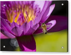 The Promise Of Pollen Acrylic Print by Priya Ghose