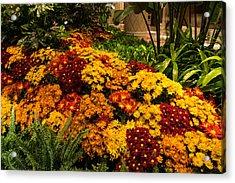 The Richness Of Autumn - An Exuberant Display Of Chrysanthemums Acrylic Print by Georgia Mizuleva