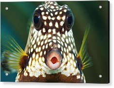 The Smooth Trunkfish  Lactophrys Acrylic Print by Dave Fleetham