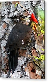 The Southeastern Pileated Woodpecker Acrylic Print by Kim Pate