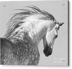 The Spanish Stallion Tosses His Head Acrylic Print by Carol Walker