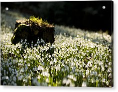 The Stump And The Snowdrops Acrylic Print by Anne Gilbert