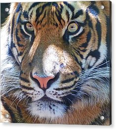 The Superb Sumatran Tiger Acrylic Print by Margaret Saheed