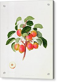 The Tartarian Crab Apple Acrylic Print by William Hooker