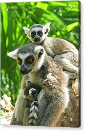 The Twins - Ring-tailed Lemurs Acrylic Print by Margaret Saheed