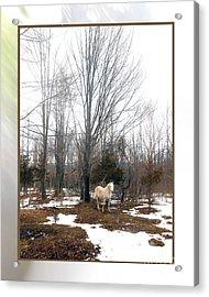 The White Stallion On A Snowless  Mound Acrylic Print by Patricia Keller