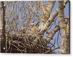 Three Baby Owls  Acrylic Print by Jeff Swan