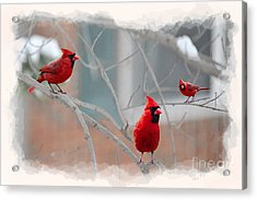 Three Cardinals In A Tree Acrylic Print by Dan Friend