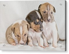 Three Collie Puppies Acrylic Print by Martin Capek