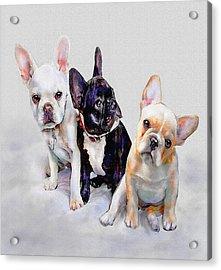 Three Frenchie Puppies Acrylic Print by Jane Schnetlage