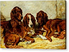 Three Irish Red Setters Acrylic Print by John Emms