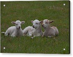Three Lambs Acrylic Print by Richard Baker