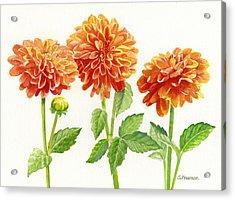 Three Orange Dahlias Acrylic Print by Sharon Freeman
