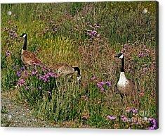 Three Quiet Canada Geese Acrylic Print by Susan Wiedmann