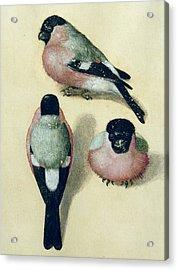 Three Studies Of A Bullfinch Acrylic Print by Albrecht Durer