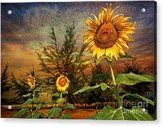 Three Sunflowers Acrylic Print by Adrian Evans