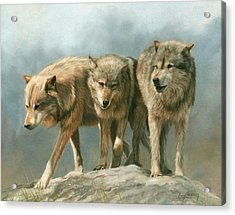 Three Wolves Acrylic Print by David Stribbling