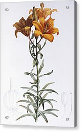 Tiger Lily Acrylic Print by Pierre Joseph Redoute