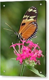 Tiger Longwing Acrylic Print by Juergen Roth