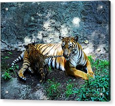 Tiger Love 1 Acrylic Print by Mel Steinhauer
