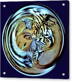 Tiger Orb Acrylic Print by Paulette Thomas