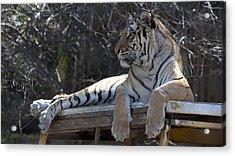 Tiger Acrylic Print by Sandra Silva