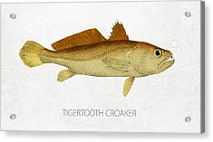 Tigertooth Croaker Acrylic Print by Aged Pixel