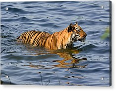 Tigress Of The Lake Acrylic Print by Fotosas Photography