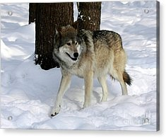 Timber Wolf In A Winter Snow Storm Acrylic Print by Inspired Nature Photography Fine Art Photography