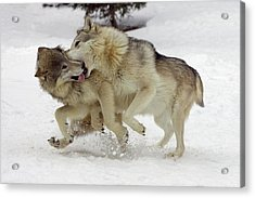 Timber Wolf  Pair Montana Acrylic Print by Matthias Breiter