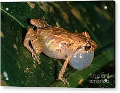 Tink Frog Acrylic Print by Gregory G. Dimijian, M.D.