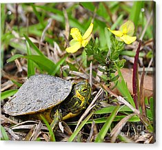 Tiny Turtle Close Up Acrylic Print by Al Powell Photography USA