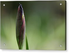 Today A Bud - Purple Iris Acrylic Print by Debbie Oppermann