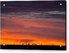 Topi Herd Sunrise Acrylic Print by Mike Gaudaur